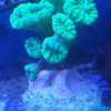 Kelchkoralle Turbinaria reniformis ultra gelb (DNZ)