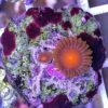 Zoanthus Rasta 8+ Polypen (DNZ)