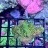 Acropora humilis