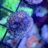 Acropora Tenuis Deep Blue