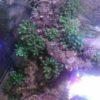 Blasenaemone Kupferanemone Quadricolor