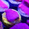 Stylophora pinky
