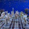 Korallenpaket