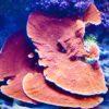 montipora hellblau mit lila Polypen