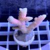Acropora Enzmann WYSIWYG