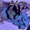 Caulastrea tumida blau Frag – 5 Rosen