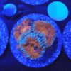 WYSIWYG Acanthastrea Lordhowensis CL red snowflake