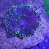 Discosoma sp Interstellar mushroom
