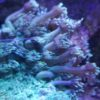 WYSIWYG Acanthastrea Lordhowensis Korallenpaket Rainbow Acan