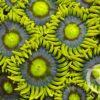 Zoanthus Fake Chilli (WYSIWYG)