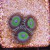 Zoanthus Blueberry Pie 4 Polypen