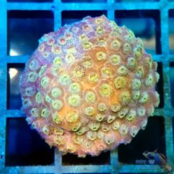 cyphastrea gold shower