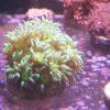 Goniopora lila/gelb ULTRA RAR