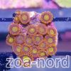 Zoanthus Krustenanemonen gold gelber Kern