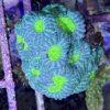 Caulastrea echinulata 2 Polypen