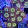 Zoanthus Sunny delight 8+ Polypen (DNZ)