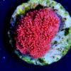 Fungia, LPS Nr. 16