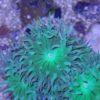 Bartkoralle Axifuga ultra green 1 Polyp
