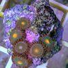 Zoanthus gelber Kern