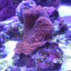 Montipora Superman DNZ