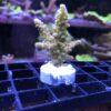 Stylophora Pistillata bicolor WYSIWYG
