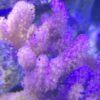 Lobophytum Weichkoralle weisse Polypen
