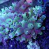 Zoanthus ultra grün