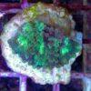 Pavona grün