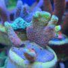 11 Korallen im Set