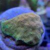Stylophora subseriata - ultra Fiji pink/grün - WYSIWYG