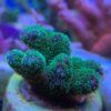 "Acropora formosa ""blue tips"" - grün floureszierend WYSIWYG"