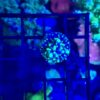 Acropora Echinata/Speciosa blau