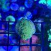 Montipora fluoreszierend rot