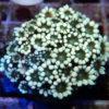 Alveopora sp. bicolor Schoko , mindestens 40-45 Polypen!