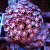 Euphyllia glabrescens yellow Tips zwei Köpfe (Kopie)