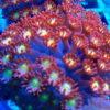 Goniopora rot, ultra flash, Größe L, ca. 60-70 Polypen!