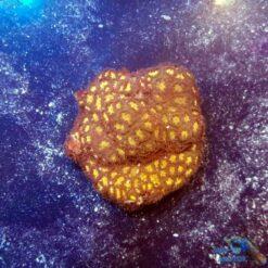 leptastrea gold