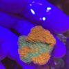 Montipora Platte grün, rote Polypen