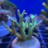 Seriatopora - loser Ast 2-3 cm