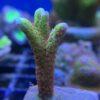Seriatopora hystrix - grün WYSIWYG