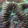 Caulastrea furcata neongelb