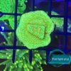 Caulastrea Curvata mint/blau 15+ Polypen