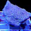 Seriatopora lila weiss/Silber