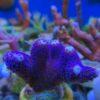 Acropora Echinata