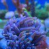 Fungia LPS Koralle