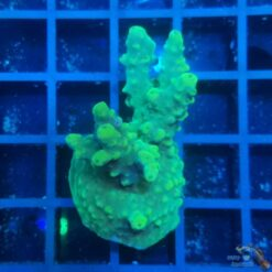 Acropora sp. green