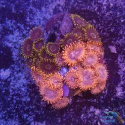 zoanthus purple hornet utter chaos mix