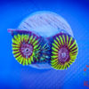 Caulastrea Furcata Neongrün mind. 6 Polypen