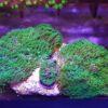Tonga Bullseye Rhodactis Mushroom (Kopie)
