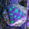 Leptastrea grün